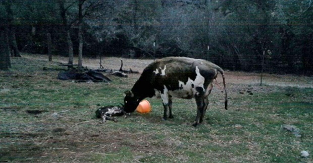 mom cow and baby birthing services veterinary