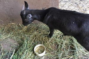 goat eating veterinary services